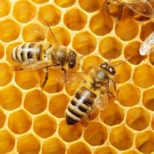Uso terapéutico del veneno de abejas