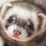 El hurón: amistosa y curiosa mascota