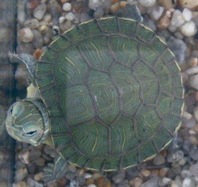 Cuidados de la tortuga de agua for Peceras para tortugas