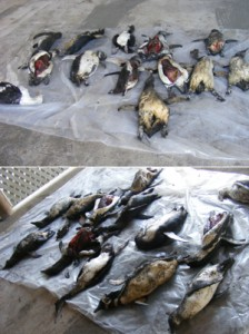 Matanza de pingüinos alerta a la PDI