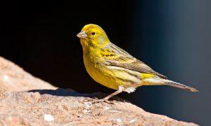 Consejos para la cría y elección del canario