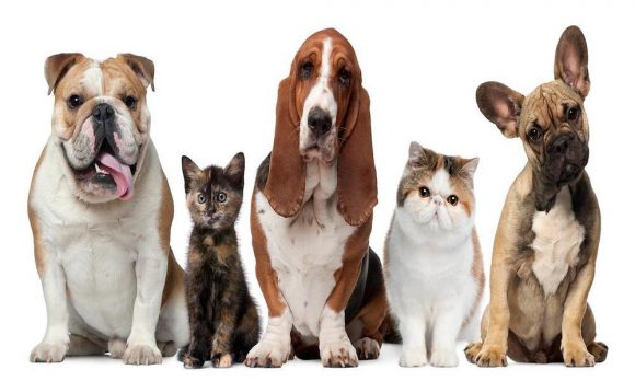 ayudar a tu mascota a defenderse de las pulgas